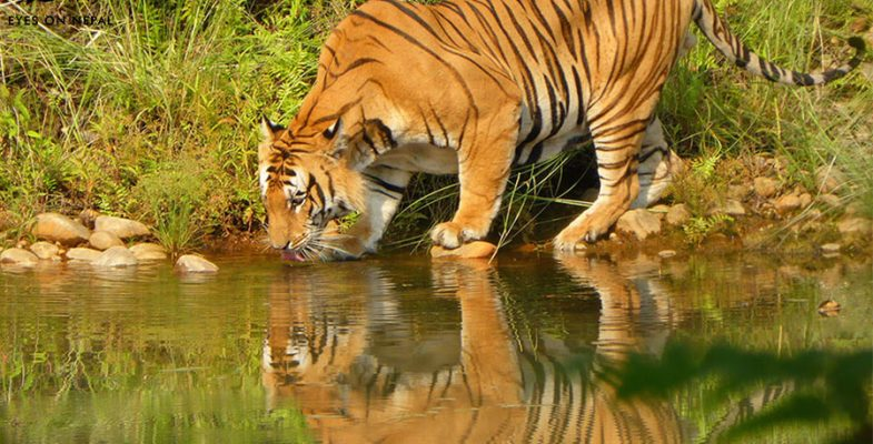 Bardia-National-Park- tiger